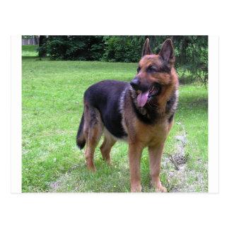 Schäferhund volles 2.png postkarte