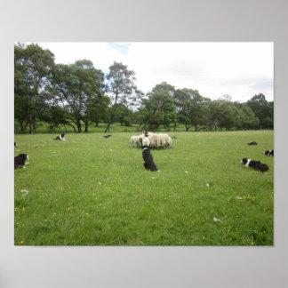Schäferhunde im schottischen Hochland-Plakat Poster