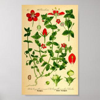 Scharlachrot des Pimpernel-(Anagallis caerulea) Poster