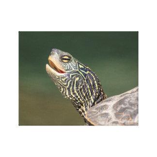 Schildkröte auf LaChute Fluss Leinwanddruck