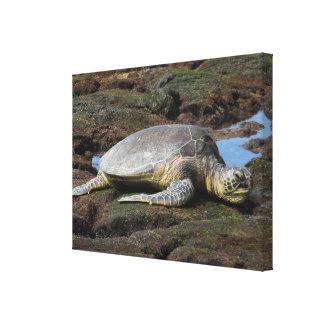 Schildkröte, die auf den Felsen stillsteht Leinwanddruck
