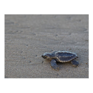 Schildkröte Hatchlings Postkarte