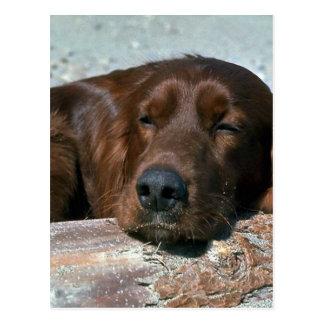 Schlafender Irischer Setter Postkarte