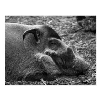 """""""Schlafenvietnamesisches Schwein """" Postkarte"""