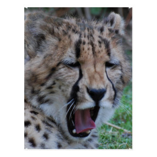 Schläfriger Gepard CUB Postkarte