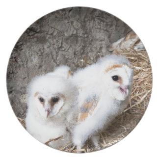 Schleiereule-Küken in einem Nest Teller