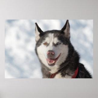 Schlitten-Hundeporträt Poster