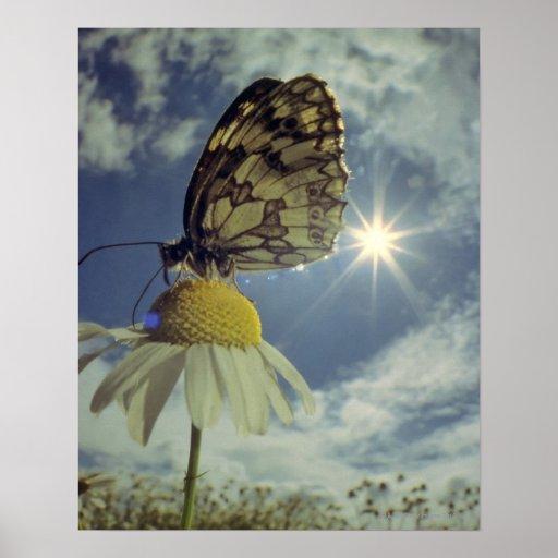 Schmetterling auf Kamillen-Blume mit Sonne, Posterdrucke
