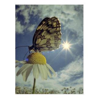 Schmetterling auf Kamillen-Blume mit Sonne, Postkarte