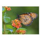 Schmetterling des Soldaten (Danaus eresimus), der Postkarte