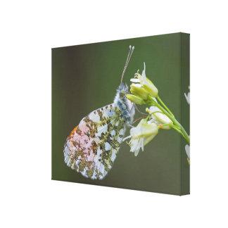 Schmetterlings-MakroLeinwand-Druck - Goa Leinwanddruck
