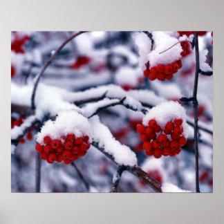 Schnee auf europäischen Ebereschen-Beeren, Utah Plakate
