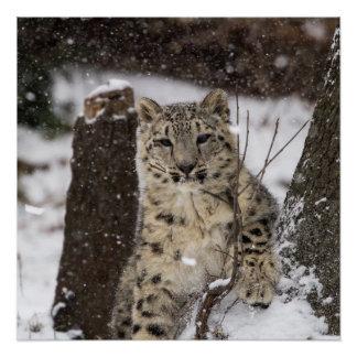 Schnee-Leopard CUB Poster