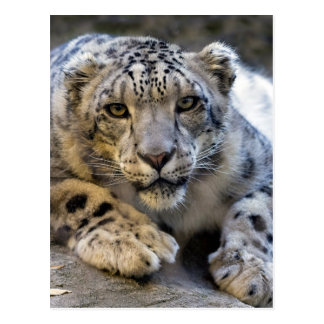 Schnee-Leopard-Gesichts-Foto Postkarte