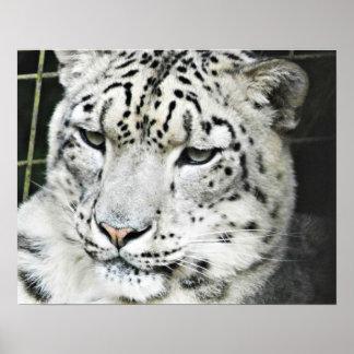 Schnee-Leopardnahaufnahme Poster