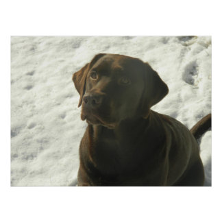 Schokoladen-Labrador im Schnee Poster