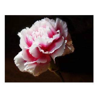 Schöne Baby-Rosa-Gartennelken-Blume Postkarte