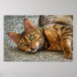 Schöne bengalische Katze Poster