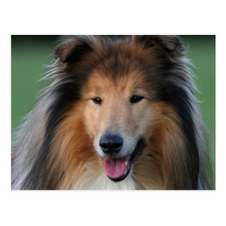 Schöne Colliehundeporträtpostkarte Postkarten