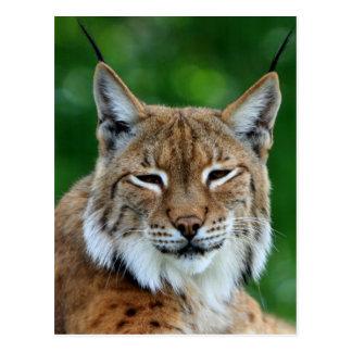 Schöne Fotopostkarte des Bobcat oder des Luchses Postkarte