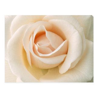 Schöne frische Rose Postkarte
