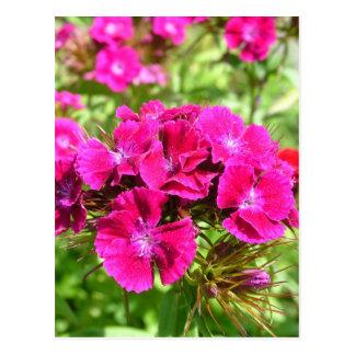Schöne Gartennelken-Blumen Postkarte