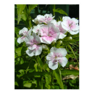 Schöne Gartennelken-Blumen Postkarten