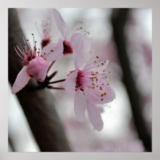 Schöne Kirschblüten-Blumen Posterdrucke