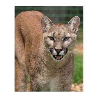 Schöne Pumanahaufnahme Acryldruck