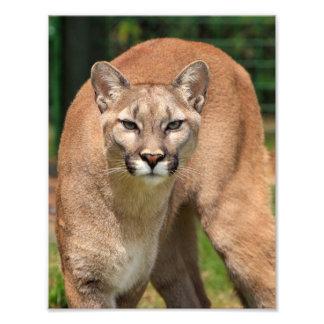 Schöne Pumanahaufnahme Fotodruck