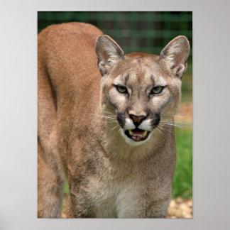 Schöne Pumanahaufnahme Poster