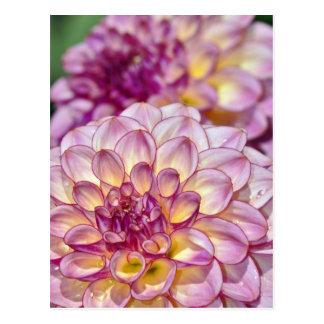 Schöne rosa Dahlie-Blumen Postkarte