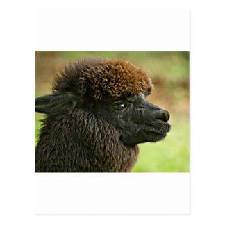 Schöne Savanne das Suri Alpaka Postkarte