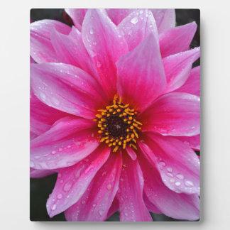 Schöne Singlerosa-Dahlie-Blume Fotoplatte