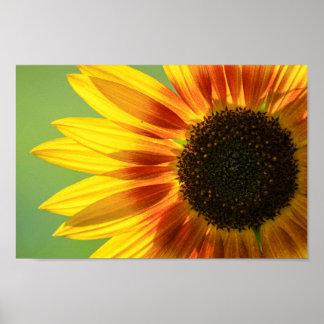 Schöne Sonnenblume Poster
