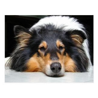 Schöne Tri Porträtpostkarte der Colliehundenase Postkarte