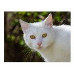 Schöne weiße Katze Postkarten