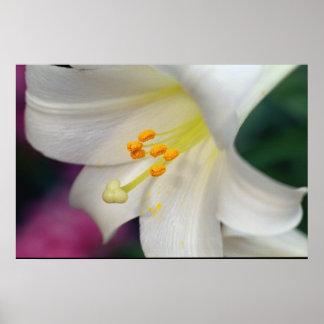Schöne weiße Lilie Poster