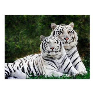 Schöne weiße Tiger Postkarte