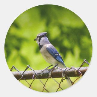 Schöner blauer Jayvogel Runder Aufkleber