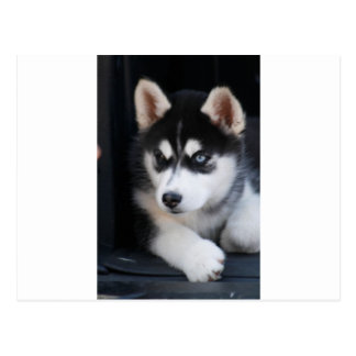 Schöner blaues Augen-sibirischer Husky 2 Postkarte