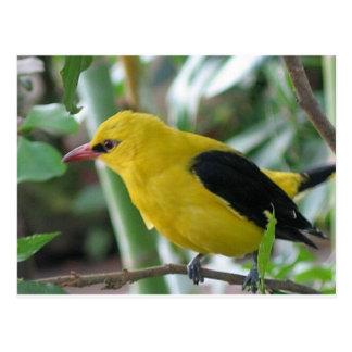 Schöner gelber und schwarzer Winged Oriole Postkarte