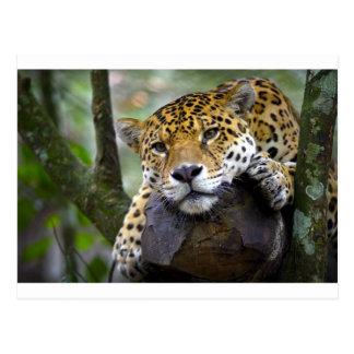 Schöner Jaguar, der im Baum sich entspannt Postkarte