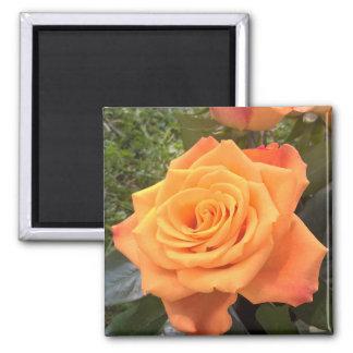 Schöner orange Rosen-Fotomagnet Quadratischer Magnet