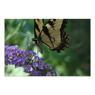 Schöner Tiger-Frack-Schmetterling auf Blume Fotodruck