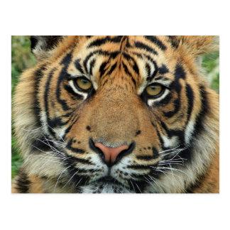 Schöner Tiger Postkarte