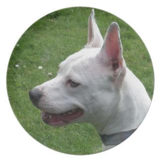 Schöner weißer Staffordshire-Bullterrier Teller