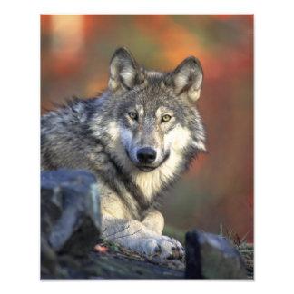 Schöner Wolf Kunstfoto