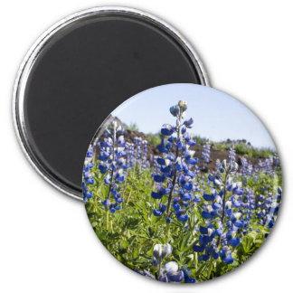 Schönes blaues lupina magnets
