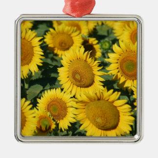 Schönes Feld der Sonnenblumen Quadratisches Silberfarbenes Ornament
